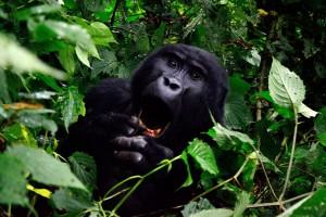 gorilla-355178_1280